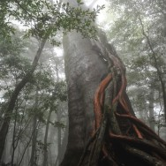 Huge cedar in the mist, Yakushima, Japan | © Marijn Engels, October 2012